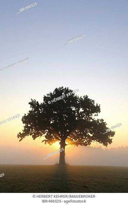 Pedunculate Oak (Quercus robur) at sunrise