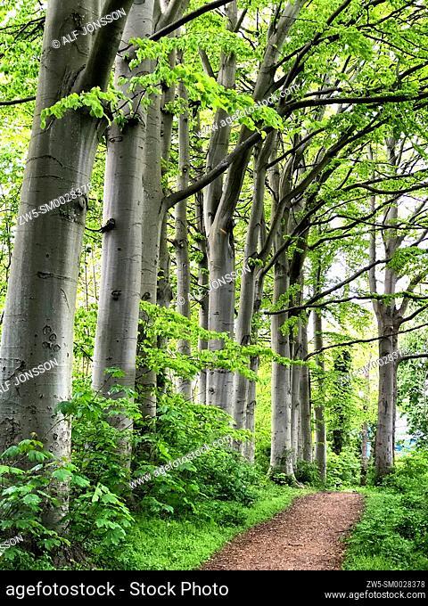 Beech trees (Fagus sylvatica) at a path in Ystad, Scania, Sweden, Scandinavia