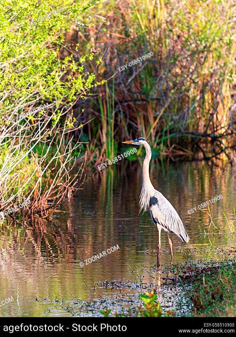 Blue heron in Everglades NP, Florida