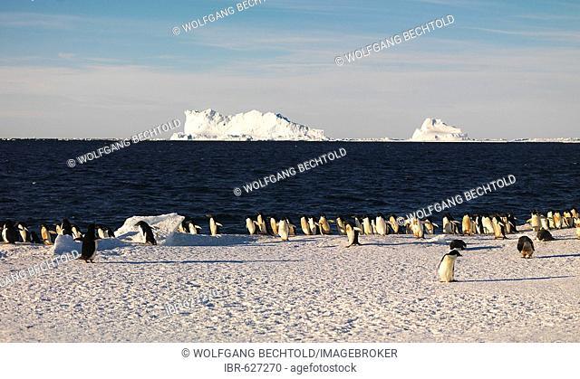 Adélie Penguins (Pygoscelis adeliae) with icebergs in the background, Franklin Island, Antarctica