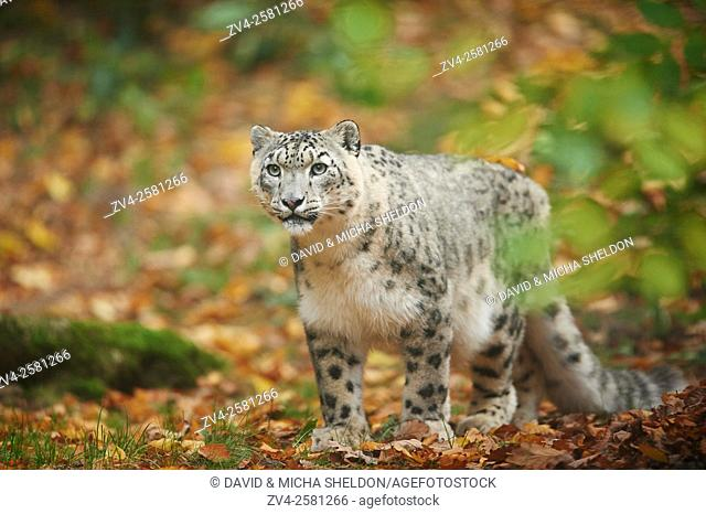 Snow leopard (Panthera uncia syn. Uncia uncia) in autumn. Captive. Germany