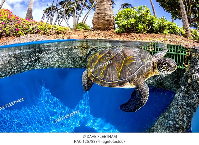 This green sea turtle (Chelonia mydas), an endangered species, has been raise since hatching from an egg, at the Maui Ocean Center