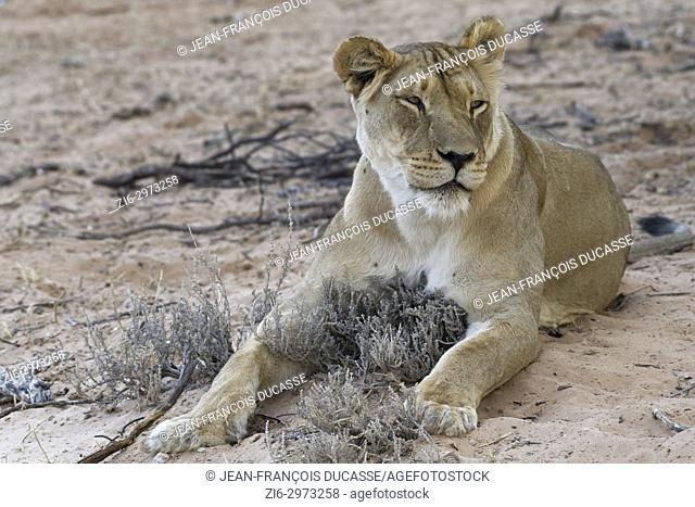 African lion (Panthera leo), lioness lying on sand at dusk, Kgalagadi Transfrontier Park, Northern Cape, South Africa, Africa