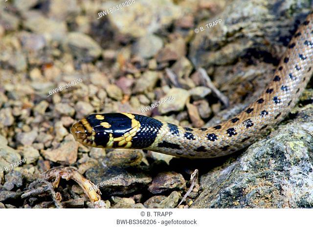 Asia Minor dwarf snake (Eirenis modestus), juvenile Asia Minor dwarf snake, rare spottet morphe, portrait, Turkey, Lycia, Dalyan, Mugla