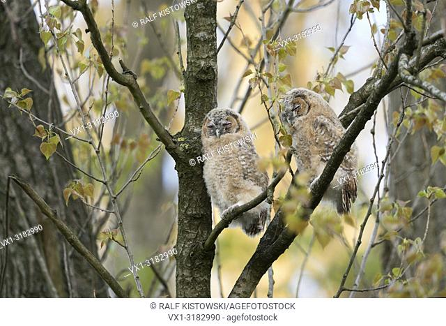 Tawny Owl ( Strix aluco ), two fledglings, perched high up in a tree, sleeps, daydreaming, cute and funny, wildlife, Germany