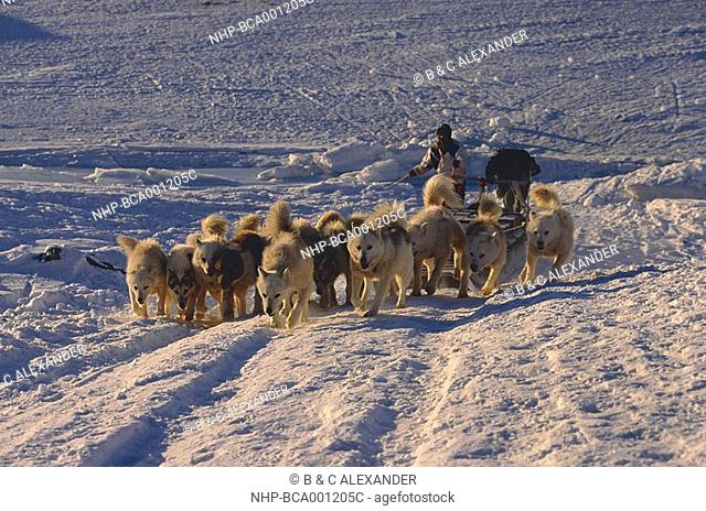 HUSKIES pulling heavy sled up hill Meteorite Island, north western Greenland