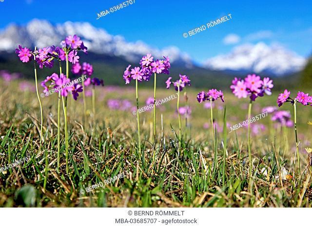 Germany, Bavaria, Upper Bavaria, Werdenfelser Land, flour primroses, flour primrose