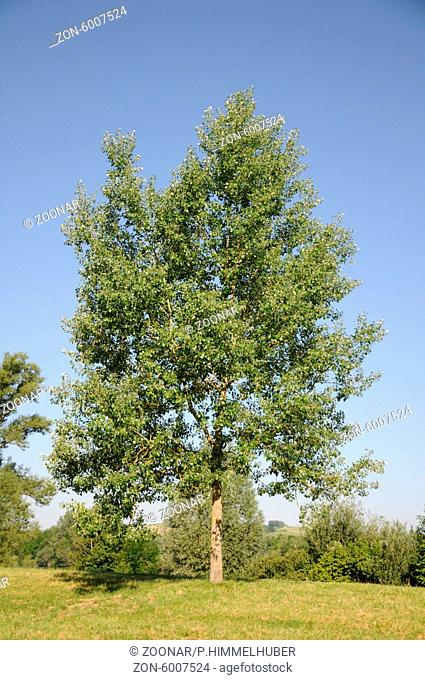 Populus alba, Silberpappel, White poplar