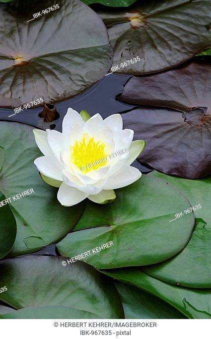 European White Waterlily, White Lotus, or Nenuphar (Nymphaea alba)