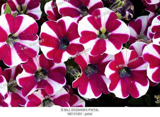 Cascadias Series Petunia - North Carolina Arboretum - Asheville, North Carolina, USA