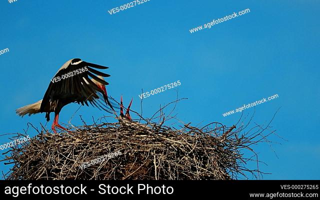 Adult European White Stork - Ciconia Ciconia - Sitting In Nest In Sunny Spring Day. Belarus, Belarusian Nature. Stork Puts Things In Order In Nest