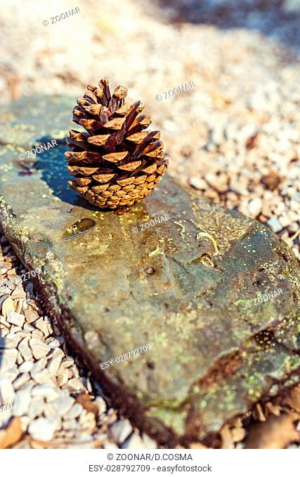 pine cone on a rock with pebbles