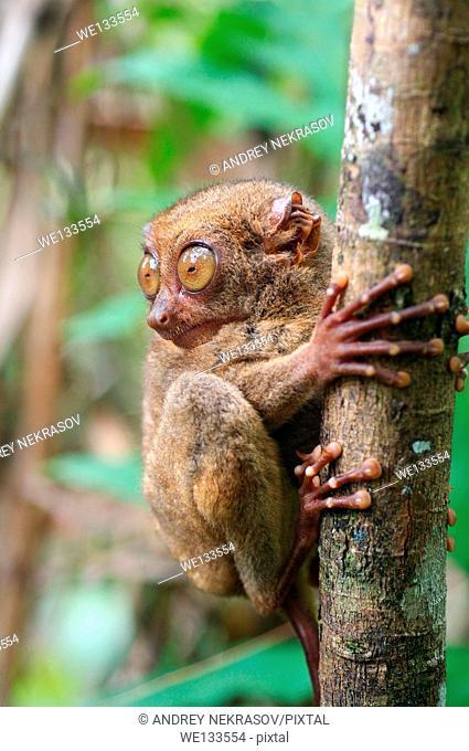 Philippine tarsier (Carlito syrichta) island Bohol, Philippines, Southeast Asia