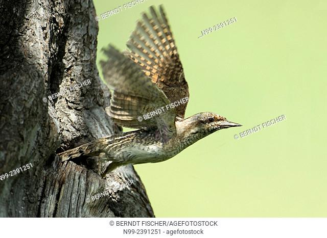 Wryneck (Jynx torquilla), flying out of the nesting hole, Germany