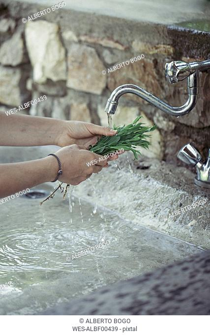 Young woman cleaning fresh tarragon