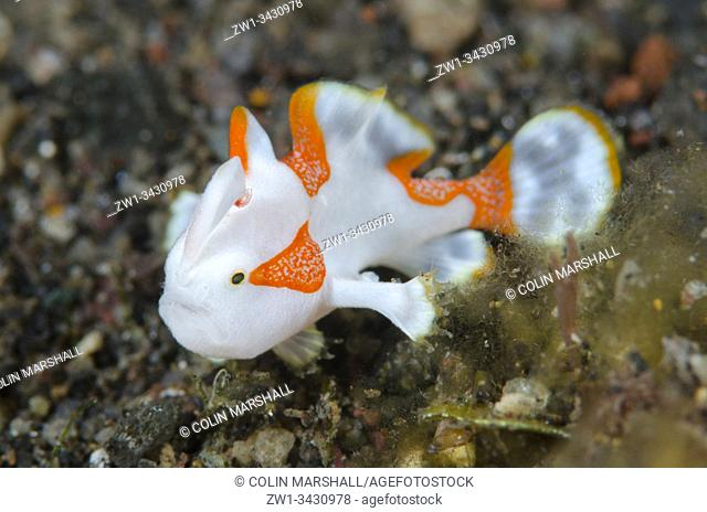 Juvenile Warty Frogfish (Antennarius maculatus, Antennariidae Family), night dive, Amed Bunga Laut House Reef dive site, Amed, Bali, Indonesia, Indian Ocean