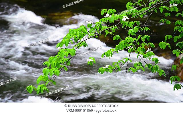 Dogwood over the Merced River, Yosemite Valley, Yosemite National Park, California USA