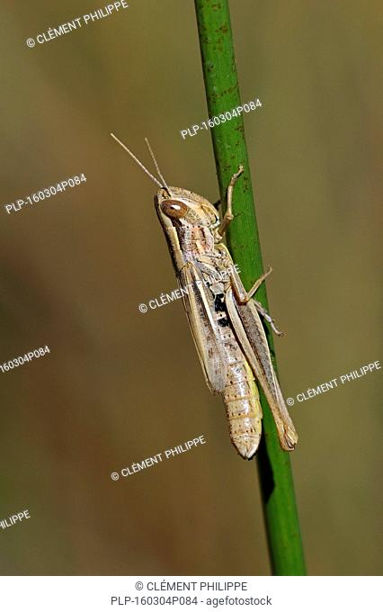 Sharp-tailed grasshopper (Euchorthippus declivus / Acridium declivus) female climbing grass stalk in meadow