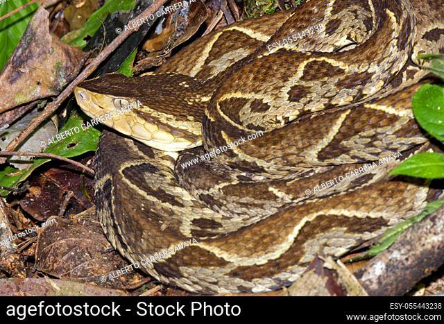 Fer-de-lance Viper, Terciopelo Viper, Bothrops asper, Tropical Rainforest, Costa Rica, Central America, America