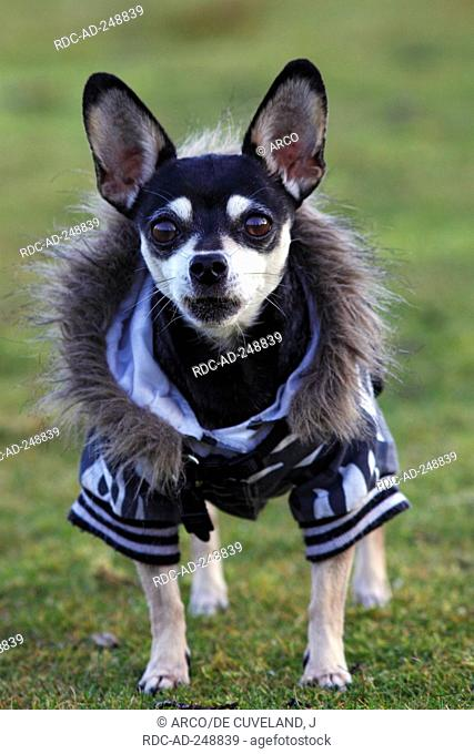 Chihuahua smooth haired coat
