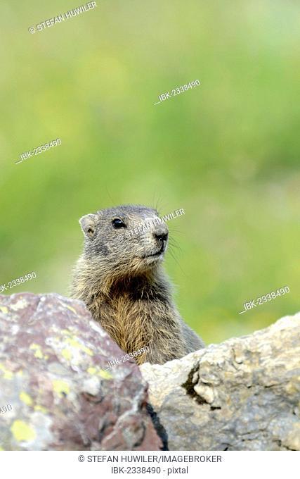Young Alpine Marmot (Marmota marmota) looking over a rock, Grisons, Switzerland, Europe