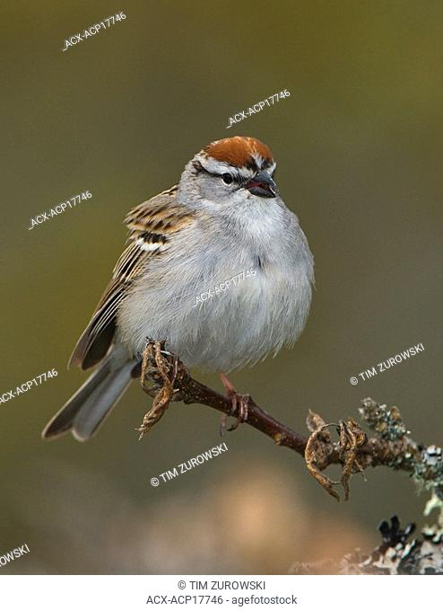 Chipping sparrow Spizella passerina on perch at Mount Tolmie Park, Saanich, British Columbia, Canada