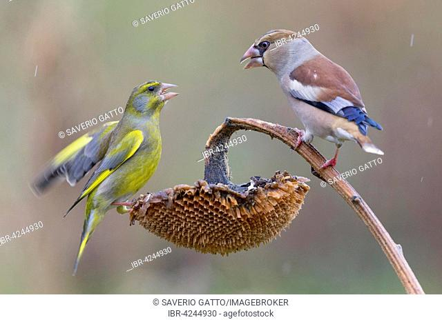Hawfinch (Coccothraustes coccothraustes), fighting for seeds with a greenfinch (Carduelis chloris), Tuscany, Italy