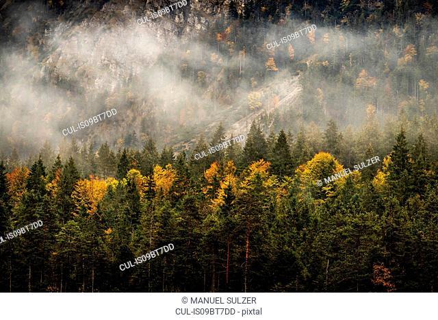 View over fir forest, Karwendel region, Hinterriss, Tirol, Austria