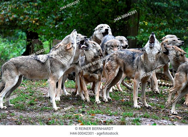 Canine, Canis lupus, European wolf, grey wolf, grey wolf, howling wolves, doggy, Isegrimm, pack education with wolves, predator, predators, Wolf, wolf howling