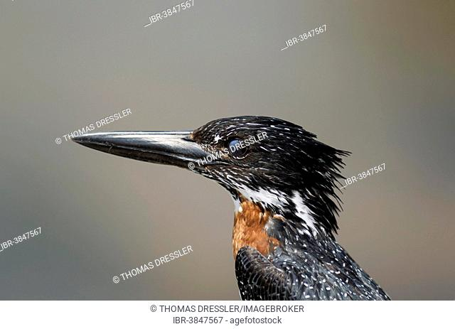Giant Kingfisher (Megaceryle maximus), male, with closed nictitating membrane, Kruger National Park, South Africa