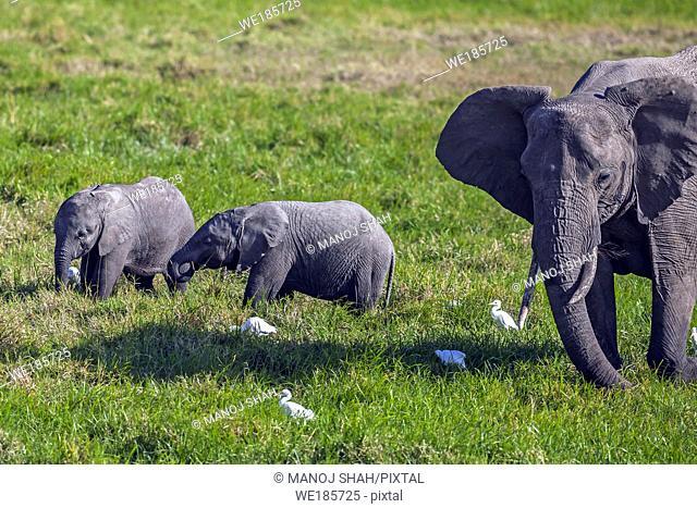 African Elephants feeding in the marsh in OL Pejeta, Laikipia