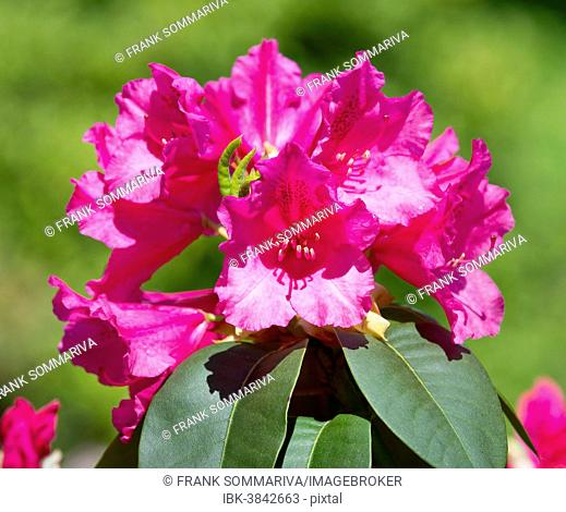 Williams Rhododendron (Rhododendron williamsianum), flowering, Thuringia, Germany