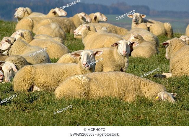 Frisian molk sheep Ovis ammon f. aries, on a pasture, Germany, Baden-Wuerttemberg