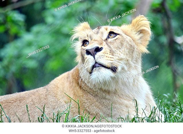 Cute Portrait of Katanga Lioness Watching Up