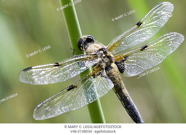 Four-spotted Chaser, Libellula quadrimaculata, a large gold dragonfly with distinct four dark markings on the wings. Flies April to September