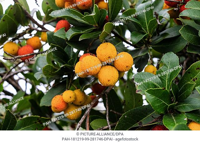 14 December 2018, Turkey, Izmir: Fruits hang on the western strawberry tree (Arbutus unedo) from the heather family. The strawberry tree is an evergreen shrub