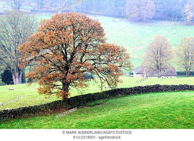 Autumn Oak Tree in Nidderdale near Pateley Bridge North Yorkshire England
