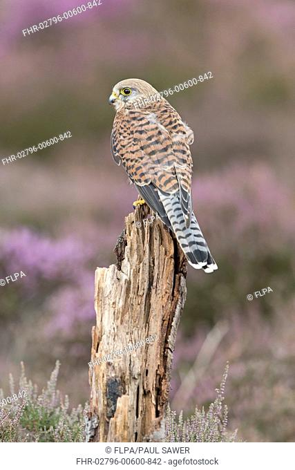 Common Kestrel (Falco tinnunculus) adult female, perched on stump amongst flowering heather, England, August (captive)