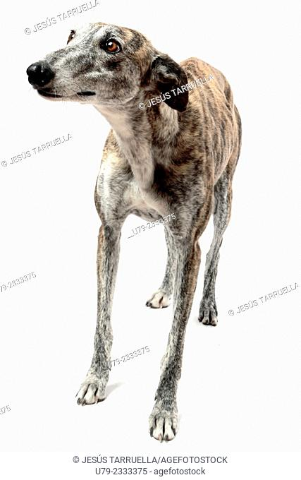Spanish Greyhound dog portrait