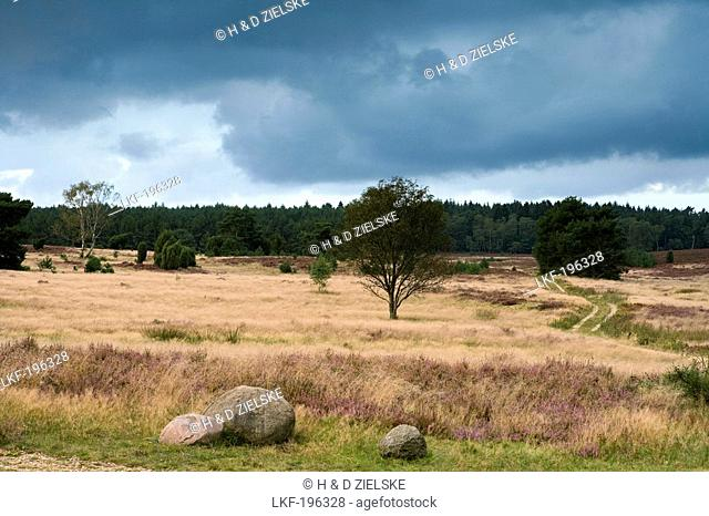 Heather and trees under clouded sky, Luneburg Heath, Lower Saxony, Germany, Europe
