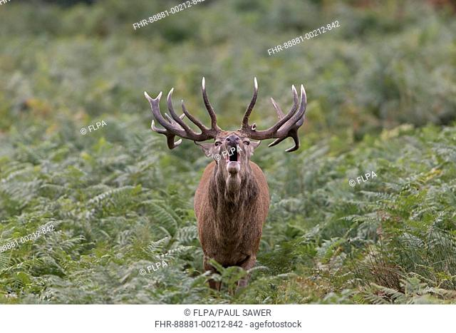 Red Deer (Cervus elaphus) stag, with broken antler, standing among bracken roaring during rut, Richmond Park, Richmond Upon Thames, London, England, October
