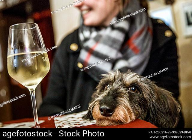 """16 February 2020, Berlin: A dachshund sits in front of a glass of wine in the guest room of the """"""""Posh Teckel Bar"""""""" during the big dachshund weekend"""