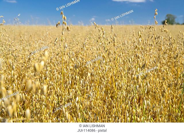 Close Up Of Oats Growing In Field With Blue Sky