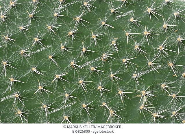 Texture of a cactus leaf