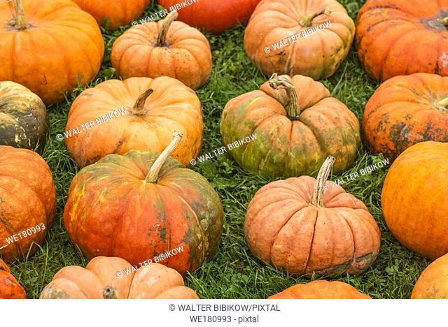 USA, Maine, Wells, autumn pumpkins