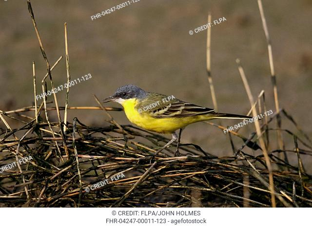 Eastern Yellow Wagtail (Motacilla tschutschensis macronyx) 'Southeast Siberian' subspecies, adult male, foraging on reeds beside tidal mudflats