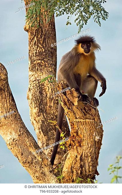 Capped langur (Trachypithecus pileatus). Nameri National Park. Sonitpur. Assam, India
