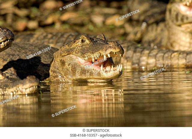 Brazil, Mato Grosso, Pantanal, Refugio Ecologico Caiman, Rio Aquidauana, Paraguayan Caiman On Riverbank, Sunning , Caiman Crocodilus Yacare, Teeth