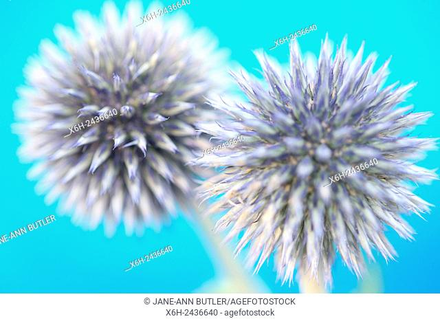 two purple globe thistles on summery blue