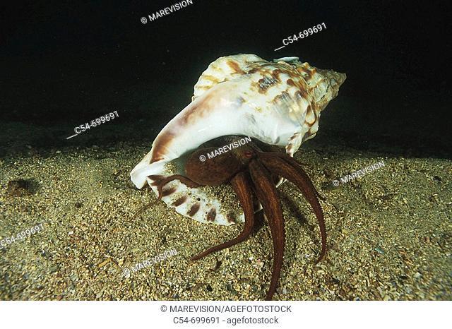 Eastern Atlantic. Galicia. Spain. Octopus hiding in a Trumpet shell (Octopus vulgaris)